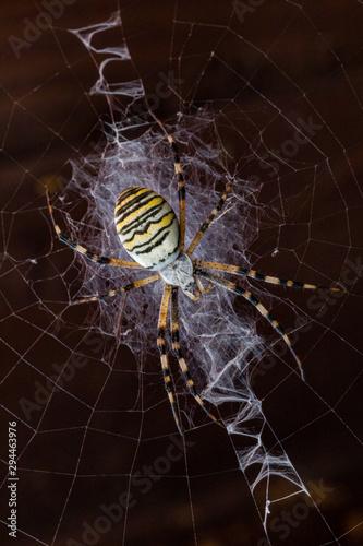 Argiope tygrzyk paskowany pająk sieć