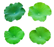 Collections Lotus Leaves Isolate On A White Background. File Contains With Clipping Path So Easy To Work.