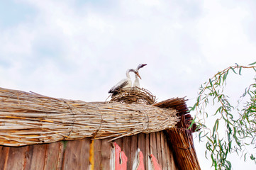 Two storks in a thatched roof nest, installation