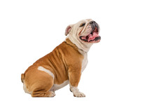 English Bulldog Portrait On Wh...