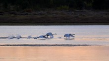 Swans Take Off From The Lake W...
