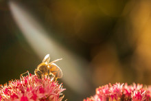 Honey Bee On A Pink Flower Bathed In A Sun Beam Making His Wings Shine And The Hair On His Body Bright Due To The Light.
