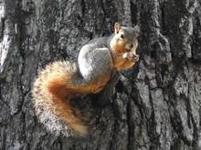 Fox Squirrel Sitting On A Branch Stub Having A Snack
