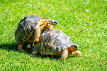 Couple Of Tortoises Mating In ...