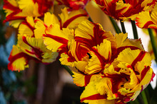 Yellow And Red Parrot Tulips I...