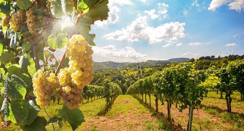 Foto op Aluminium Wijngaard Vineyards with grapevine and winery along wine road in the evening sun, Europe