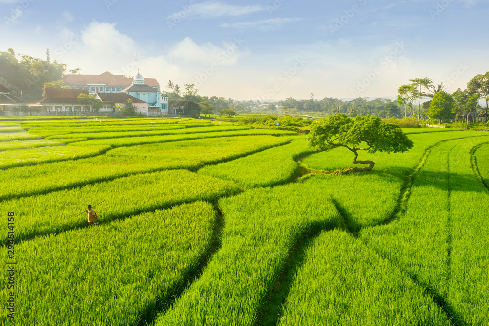 Fototapety, obrazy: Male farmer walking on the rice field at sunny day