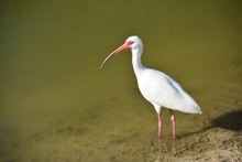 White Ibis Bird In The Wild