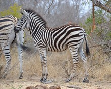 Young Fuzzy Zebra Calf Standing In The Dry Thorn Veld Grass In Kruger National Park In South Africa