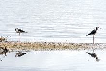 A Pair Of Black Winged Stilts ...
