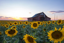 Sunflower Field, Old Barn, Col...