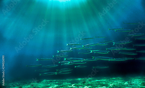 Underwaterphoto of a school of barracudas from a scuba dive in at Phi Phi Islands in Thailand.