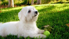White Fluffy Dog, Male Coton D...