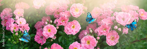Fototapeta  Mysterious spring floral banner with blooming rose flowers and flying two butter