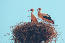 A Couple Of Storks Stand In Th...