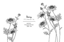 Sketch Floral Botany Collection. Daisy Flower Drawings. Black And White With Line Art On White Backgrounds. Hand Drawn Botanical Illustrations. Nature Vector.
