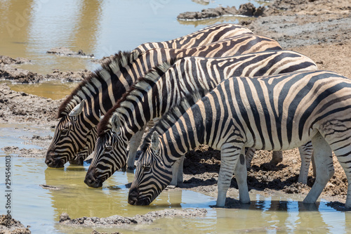 several zebras drinking water in a row in natural environment