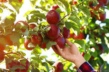 Woman Picking Ripe Apple From Tree Outdoors, Closeup