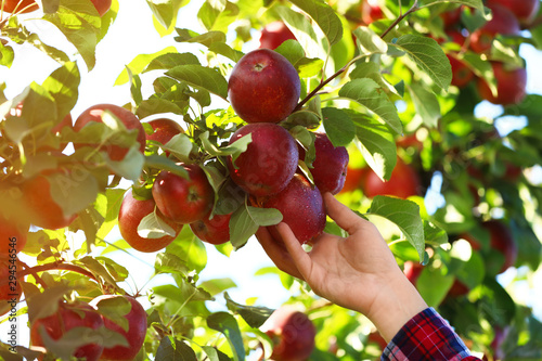 Fotografija Woman picking ripe apple from tree outdoors, closeup