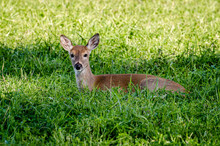 Whitetail Fawn In The Colville...
