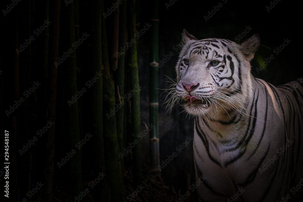 Fotografie, Obraz White tiger on a black background with bamboo trees