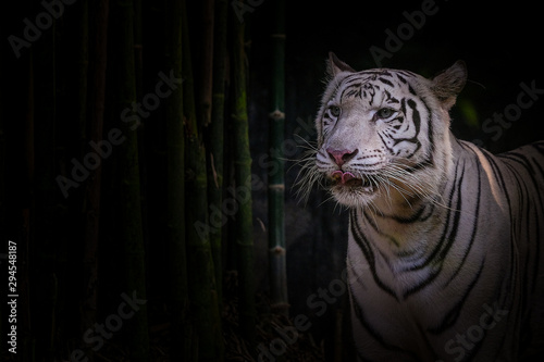 Photo sur Toile Tigre White tiger on a black background with bamboo trees