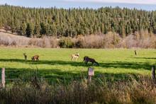 Whitetail Deer Feeding In A Ha...