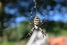 Araignée Argiope Ou Araignée...