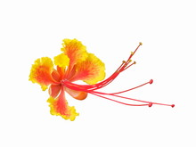 Pride Of Barbados (Caesalpinia...