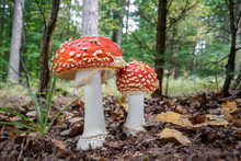Amazing Amanita Muscaria In Forest - Poisonous Toadstool