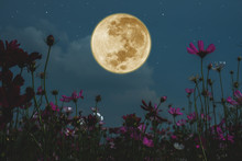 Dark Cosmos Flower With Full Moon At Night.