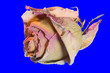 canvas print picture - fleurs : rose fond bleu