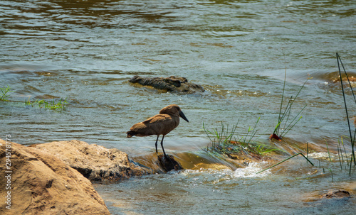 Hammerkop prepared for fishing in the river