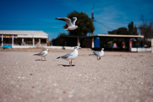 Seagulls Walk And Fly On The S...
