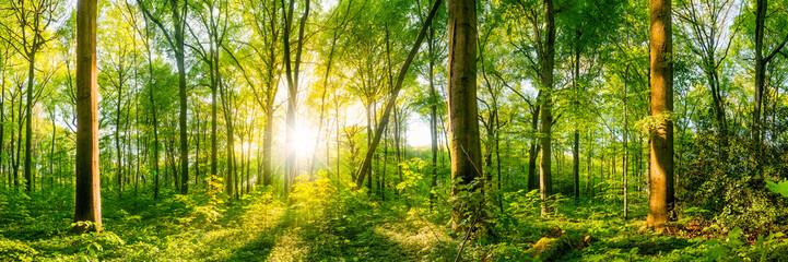 Panel Szklany Las Vom Licht der Sonne durchfluteter Wald wie aus dem Märchen mit großen alten Bäumen im Vordergrund und der strahlenden Sonne im Hintergrund