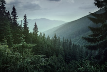 Panoramic View Of Coniferous F...