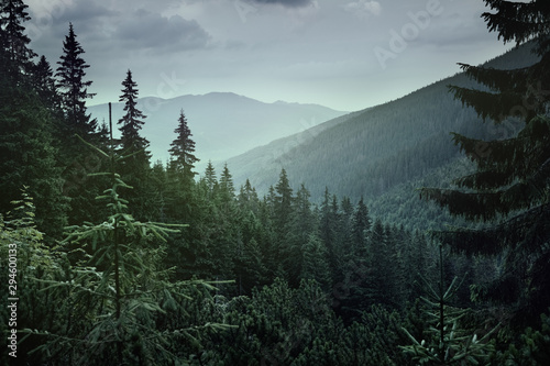 Fototapeta Panoramic view of coniferous forest in the mountains at sunset. obraz