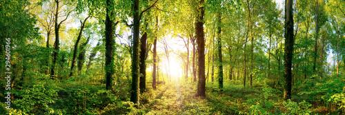 Fotografie, Obraz Lichtung in einem Wald mit großen Bäumen im Licht der untergehenden Sonne