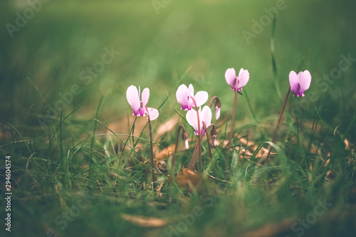 Poster de jardin Crocus fleurs roses