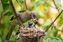 Mother Bird Feeding Her Newborn Baby On Nest In The Tree. Close Up