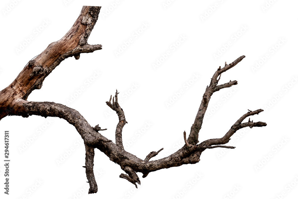 Fototapety, obrazy: Branch of dead tree isolated on white background with clipping path
