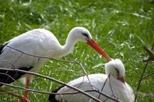 White Storks Or Ciconia Ciconi...