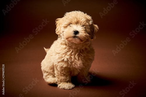 Obraz little puppy dog sits on a brown background - fototapety do salonu