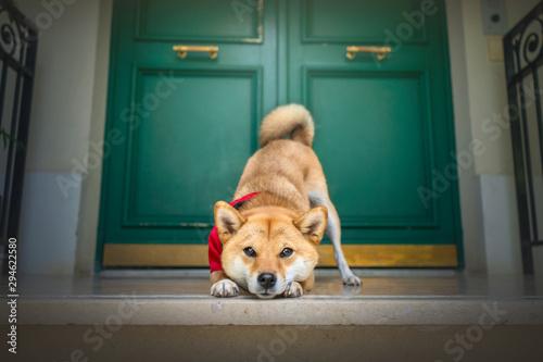 Photo chien shibainu poser devant une porte vert