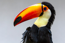 Isolated Portrait Of A Toucan ...