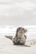 Leinwandbild Motiv Kleine Robbe am Strand