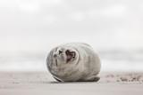 Fototapeta Zwierzęta - Kleine Robbe am Strand
