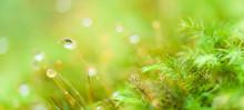 Pure Raindrops On Green Moss.