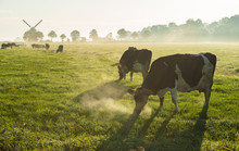 Cows In The Dutch Countryside During A Foggy Morning.