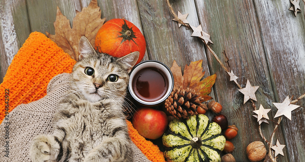 Fototapety, obrazy: Cute cat,. pumpkins, cups, ligts,sweater on autumn background.